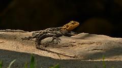 ein schönes Plätzchen... (marionkaminski) Tags: namibia afrika africa animal animali dieren reptil lizard iguana lézard panasonic lumixfz1000