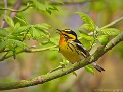Burnin' Love (Doug Scobel) Tags: blackburnian warbler setophaga fusca magee marsh bird wildlife nature woodwarbler explore
