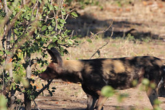 Lycaon pictus (African Wild Dog) (Arthur Chapman) Tags: endangered lycaon pictus lycaonpictus africanwilddog wilddog nshawu krugernationalpark limpopo southafrica taxonomy:kingdom=animalia taxonomy:phylum=chordata taxonomy:class=mammalia taxonomy:order=carnivora taxonomy:family=canidae taxonomy:genus=lycaon taxonomy:binomial=lycaonpictus taxonomy:common=africanwilddog geocode:accuracy=100meters geocode:method=gps geo:country=southafrica geo:region=africa