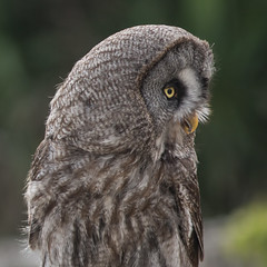 Great gray owl (Michel Couprie) Tags: europe france provins owl bird oiseau chouette animal greatgrayowl portrait profile squareformat eye canon eos ef3004lis couprie