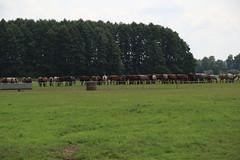 036A7639 (zet11) Tags: the janów podlaski stud horses cattle pasture