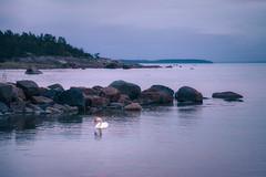 Swan in Reposaari (Olli Tasso) Tags: swan joutsen reposaari pori meripori finland scandinavia balticsea bothniansea ranta coast sea meri landscape seascape maisema merimaisema ilta evening aftersunset peaceful calm serene tyyni auringonlaskunjälkeen selkämeri itämeri
