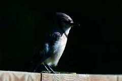Blue Jay (Astral Will) Tags: bird jay bluejay corvid shadow light