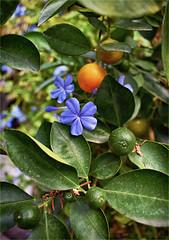 Little Oranges (Jocelyn777) Tags: oranges textured plants