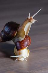 A pair of large snails (Alexander Korovin) Tags: albino closeup furniture helix macro macrocosm mollusks nature snail table vegetables альбинос еда макро макромир мебель моллюски овощи пища предметы природа стол улитка фауна