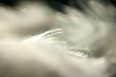 Sometimes i feel....-1 (FLOCVROFF) Tags: feather white feder plume blanc noir et macro proxi chivaroff juillet faune 50mm