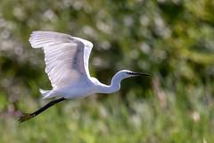 You can see right through me (Paul Wrights Reserved) Tags: egret heron herons bird birding birdphotography birds birdwatching birdinflight flight inflight flying fly bokeh bokehballs backlit nature naturephotography