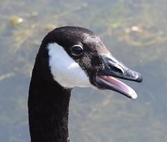 Noisy Goose (MJ Harbey) Tags: bird wildbird water lake caldecottlake miltonkeynes buckinghamshire canadagoose goose brantacanadensis nikon d3300 nikond3300 anatidae