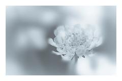 216/365: UFO...unidentified floral object (judi may) Tags: 365the2018edition 3652018 day216365 04aug18 100xthe2018edition 100x2018 image49100 monochrome mono blackandwhite flower bokeh depthoffield dof soft softness dreamy blur canon5d macro