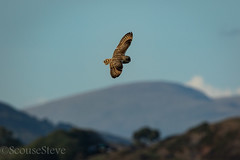 Short Eared Owl (Scouse Steve) Tags: asioflammeus flight marsh shortearedowl