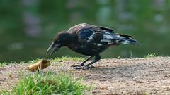 Leucistic Crow-1160721 (Mooshie1956) Tags: reddichvale reddish stockport panasonic lumix g80g85 43m micro43 m43 panasonic100400 leica100400 leucistic crow