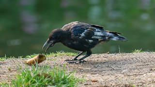 Leucistic Crow-1160721