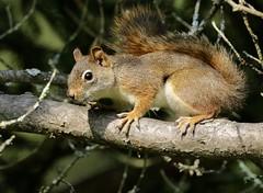 Just Passing Thru (Diane Marshman) Tags: red squirrel small reddish brown white black fur bushy tail pine tree branch summer northeastern pa pennsylvania nature wildlife