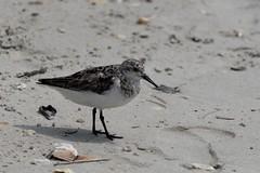 Hanging Around (ramseybuckeye) Tags: life pentax sanderling shells sand northcarolina wilmington beach wrightsville bird wading