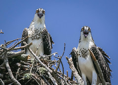 Siblings (lablue100) Tags: siblings osprey juveniles birds birdsofprey animals youngster babies young nest summer perch beauty action colors talons nature feathers