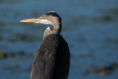 GBH (NicoleW0000) Tags: greatblueheron heron bird wader wildlife