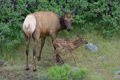 Little one (ChicagoBob46) Tags: elk elkcow elkcalf cow calf yellowstonenationalpark yellowstone nature wildlife coth5 ngc npc