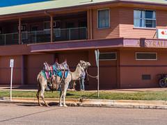 Camels at Australian Hotel Burke St Boulia Queensland P1030407w (john.robert_mcpherson) Tags: camels australian hotel burke st boulia queensland