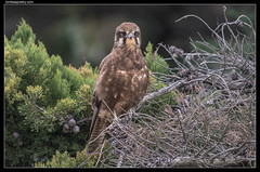 Brown Falcon-On Alert (birdsaspoetry) Tags: beachroad brownfalcon falcoberigora wtp