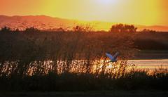 Sunset flight (Middle aged Nikonite) Tags: egret yolo bypass sunset golden sky marsh flight flying bird avian sony a6000 landscape nature outdoor california