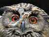 Look into my eyes... (libra1054) Tags: karpatenuhu uhu bubobubo búho hibougrandduc gufo owls animalportraits ritrattidianimali retratosdeanimais retratosdeanimales portraitsdanimaux tierportraits closeup nature fauna birdsofprey occhi ojos olhos yeux eyes augen