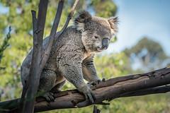 Hungry Fellow (helenehoffman) Tags: conservationstatusvulnerable herbivore nature mammal australia sandiegozoo koala arboreal animal eucalyptus phascolarctoscinereus marsupial coth specanimal coth5