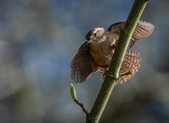 Jenny Wren (Troglodytes troglodytes) (neil 36) Tags: jenny wren troglodytes remarkably loud voice dumpy almost rounded bird nature wildlife england nottinghamshire