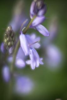 Bluebells in my Garden