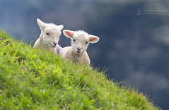 Spring Lambs (RichardBeech) Tags: nature spring animal wildlife farming livestock countryside outdoors animals young babies lambs lambing hills grass abbotsbury dorset uk britain april sunny natural nofilter canon5dmarkiii canon100400mm