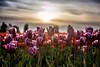 Pick me! (ashpmk) Tags: flower flowers tulips tulip tulipfestival sky sunset sunsetsky sunrays sun sunflare sunsetcolors beautifulsunset beautiful pnw nw garden skagitvalley skagit purple colors