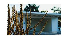 Formation- (martha ander) Tags: fs180422 fotosöndag formation dry weed jättekungsljus