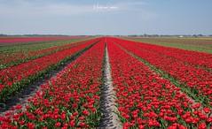 Tulip season is open (Martijn van Sabben) Tags: colour color lente spring holland landscape rood red netherlands nederland bloemen bloem flowers flower field tulips tulip tulp tulpen fotografie defotoblogger dutch ngc