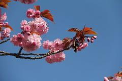 belle journée (Pierre♪ à ♪VanCouver) Tags: cherryblossom prunuskanzan vancouver cherryblossoms fleursdecerisier 桜 sakura 良いお天気 青空 バンクーバー canada kanada 花