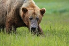 Alaska122 (lorstierlen) Tags: kodiak katmai nature bears wildlife seal
