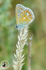 Common Blue (MarkWarnes) Tags: common blue butterfly polyommatus icarus wales vale glamorgan woodland trust coed cymru insect wildlife