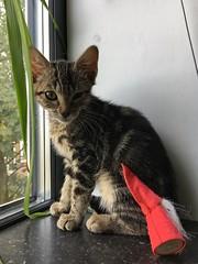 Kitten Lola (Ron van Zeeland) Tags: cat kitten bengali britishshorthair poezen katten poes pets abimal pet