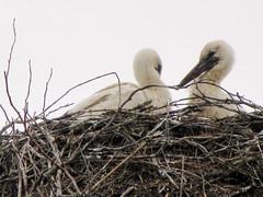 Tykocin, abundance of white storks and their nests.. (iwona_kellie) Tags: tykocin white storks nests poland polska trip travel podlasie town old july 2018 narewriver rzeka miasto