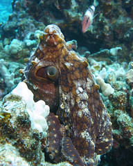 that look (BarryFackler) Tags: marineinvertebrate sealife saltwater diving pacificocean honaunau ocyanea cephalopod mollusc tako octopus heemauli octopuscyanea dayoctopus hee tentacles suckers benthic 2018 invertebrate marineecosystem reef outdoor fauna sea westhawaii zoology creature bigisland konadiving aquatic underwater barryfackler tropical dive ocean marine shoredive wildlife hawaii scuba animal water marineecology life polynesia island bigislanddiving ecology bay marinebiology sealifecamera coralreef marinelife hawaiidiving pacific organism undersea hawaiiisland sandwichislands ecosystem diver southkona seacreature hawaiicounty kona nature barronfackler biology being hawaiianislands honaunaubay