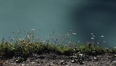 fleurs en dessus du lac de Moiry (bulbocode909) Tags: valais suisse moiry valdanniviers lacdemoiry lacs montagnes nature vert bleu eau grimentz