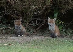 Fox cubs - Vulpes vulpes (Gary Faulkner's wildlife photography) Tags: fox vulpesvulpes