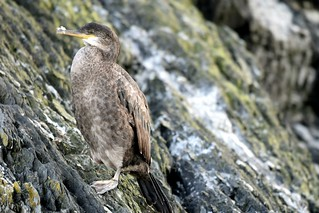 Juvenile Shag on the cliff side