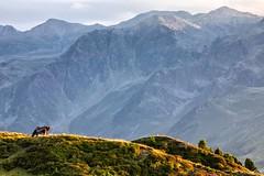 Cows Enjoying Sunset At Salfeins (galvanol) Tags: axams landscape olivergalvan alpine alpsintyrol austria eveningmood alpinepasture evening stubaialps light salfeins golden tyrol senderstal green sunset galvanol sundown mountains