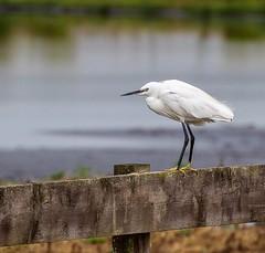 Little Egret (phil_topping) Tags: marshland wwt whitefeathers wetlandconservation wetlands egret littleegret