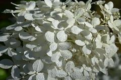 DSC_9350 (griecocathy) Tags: fleur hydrangea boutons ombre macro gouttelette eau blanc