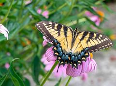 Eastern Tiger Swallowtail Butterfly (flying cats (AKA Penny Carlson)) Tags: summer garden outside outdoors nj newjersey hunterdon flower eastern tiger swallowtail butterfly easterntigerswallowtail