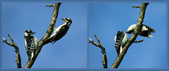 """Downy Woodpecker lunch time (Darrell Colby """" You Call The Shots """") Tags: downywoodpecker woodpecker downy lunch lunchtime londonontario darrellcolby"""