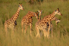 giraffes in Murchison Falls NP, Uganda (thomas.reissnecker) Tags: ngc nature animals murchisonfalls uganda safari africa giraffes giraffe