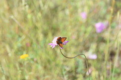 Lycaena phlaeas (esta_ahi) Tags: elpago subirats ordal penedès barcelona spain españa испания mariposa papallona butterfly lepidoptera insectos fauna lycaena phlaeas lycaenaphlaeas lycaenidae