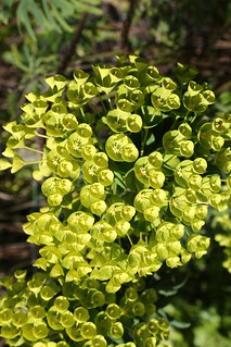 Euphorbias loving the Sun