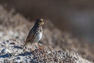 Savannah Sparrow ©